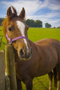 Healthy horse portrait staring directly at the camera sharp focus on the eyes Stock Photo