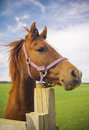 Healthy horse portrait staring directly at the camera sharp focus on the eyes Stock Photography