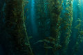 Healthy kelp forest giant macrocystis pyrifera grows in a thick off the coast of california provides important habitat for Stock Photos