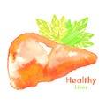 Healthy liver watercolor