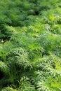 Healthy, Lush Ferns