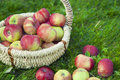 Healthy organic apples in the basket photo of Royalty Free Stock Photography