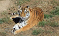 Healthy Wild Tiger Stock Images
