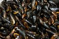 heap of raw fresh mussels on counter at local fish market. Heap of Nutritious shellfish mollusk at seafood store Royalty Free Stock Photo