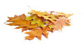 Heap of yellow autumn leaves on white background Stock Photos