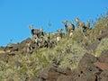 A heard of desert Bighorn Sheep on Arden Peak near Las Vegas, Nevada. Royalty Free Stock Photo