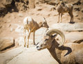 Heard of desert bighorn sheep on the hillside Royalty Free Stock Photos