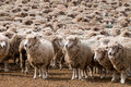 A heard of sheep in Patagonia Royalty Free Stock Photography