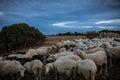 Heard of sheep Royalty Free Stock Photo