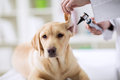 Hearing checkup of labrador dog in vet Royalty Free Stock Photo