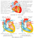 Heart anatomy of the the cardiac cycle diastole ventricular relaxation and filling systole ventricular contraction and Royalty Free Stock Photo