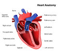 Heart anatomy Royalty Free Stock Photo