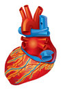 Heart inferior view human and lateral Royalty Free Stock Image