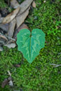 Heart leaf Royalty Free Stock Photos
