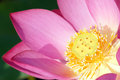 Heart of lotus the clouse up flower Royalty Free Stock Photos