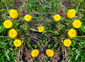 Heart made of yellow dandelions on green grass Royalty Free Stock Photo