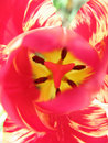 Heart of pink tulip Stock Photo