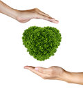 Heart Plant in the human hands on white Stock Photography
