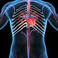 Heart Section Royalty Free Stock Photo