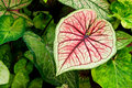 Heart-shape Caladium Royalty Free Stock Photography
