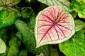 Heart-shape Caladium Royalty Free Stock Photography