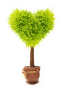 Heart shape tree in flower pot isolated on white background Royalty Free Stock Images