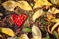 Heart shaped berries of guelder rose Royalty Free Stock Photo