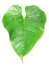Heart shaped exotic plant leaf isolated on white Stock Photography
