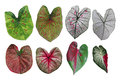Heart shaped fancy leafed Caladium variegated collection, the tr Royalty Free Stock Photo