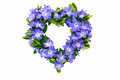 Heart shaped from flowering evergreen on white Royalty Free Stock Photography