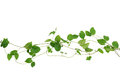Heart shaped green leaf vines isolated on white background, clip Royalty Free Stock Photo