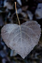Heart shaped leaf Royalty Free Stock Image