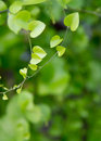 Heart shaped leaves closeup. Royalty Free Stock Photo