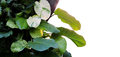 Heart shaped leaves vine, devil`s ivy, golden pothos Epipremnum Royalty Free Stock Photo