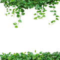 Heart shaped leaves vine, devil's ivy, golden pothos, isolated o Royalty Free Stock Photo