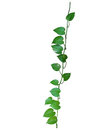 Heart shaped leaves vine, devil's ivy, golden pothos, money plan Royalty Free Stock Photo