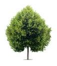 Heart Shaped Linden Tree
