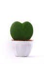 Heart-shaped plant in a flower pot isolated Royalty Free Stock Photo