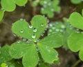 Heart shaped plant Royalty Free Stock Photo