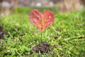 Heart-shaped red autumn leave .Love concept Royalty Free Stock Photo