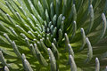 The heart of a silversword or ahinahina plant a rare endangered plant species a cactus like part of the daisy family asteraceae Royalty Free Stock Images