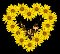 Heart of yellow flowers of decorative sunflowers Helinthus and fire flames inside isolated Royalty Free Stock Photo