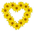 Heart of yellow flowers of decorative sunflowers Helinthus isolated Royalty Free Stock Photo