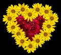 Heart of yellow flowers of decorative sunflowers Helinthus and red roses inside isolated Royalty Free Stock Photo