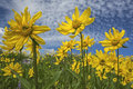 Heartleaf arnica cordifolia montana is a native species in the high mountains of the western states of usa they tend to reach for Stock Photography