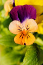 Heartsease Royalty Free Stock Photos