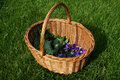 Heartsease and angelica foraging wild food a basket full of foraged to be used for medicinal tea food Stock Photo