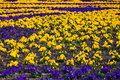 Heartsease flower garden flowers background pansy Royalty Free Stock Photo