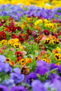 Heartsease flower garden see my other works in portfolio Royalty Free Stock Photo