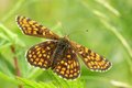 Heath fritillary Stock Photos